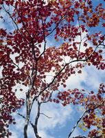 紅葉(コハウチワカエデ) 23018054539| 写真素材・ストックフォト・画像・イラスト素材|アマナイメージズ