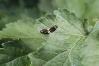 害虫(キアゲハの若齢幼虫)