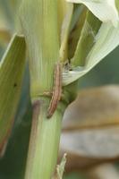 害虫(アワノメイガの幼虫) 23018054708| 写真素材・ストックフォト・画像・イラスト素材|アマナイメージズ