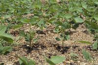 枝豆(ダイズ)の成長