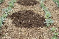 マルチング(キャベツの堆肥マルチ)