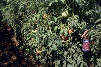 トマトの収穫期