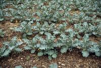 ブロッコリーの成長 23018054794| 写真素材・ストックフォト・画像・イラスト素材|アマナイメージズ