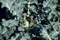 ブロッコリーの収穫期 23018054796| 写真素材・ストックフォト・画像・イラスト素材|アマナイメージズ