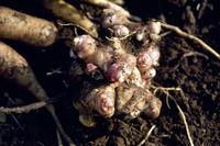 ヤーコンの芽