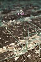 ラッキョウの花 23018054825| 写真素材・ストックフォト・画像・イラスト素材|アマナイメージズ