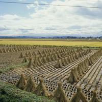 稲田 23018054846| 写真素材・ストックフォト・画像・イラスト素材|アマナイメージズ