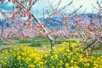 モモ、菜の花 23018054863| 写真素材・ストックフォト・画像・イラスト素材|アマナイメージズ