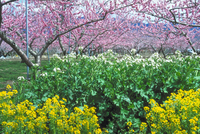 モモ、菜の花 23018054865| 写真素材・ストックフォト・画像・イラスト素材|アマナイメージズ