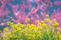 菜の花 23018054869| 写真素材・ストックフォト・画像・イラスト素材|アマナイメージズ