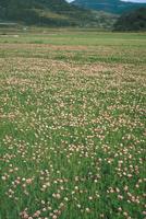 レンゲ畑 23018054909| 写真素材・ストックフォト・画像・イラスト素材|アマナイメージズ