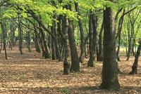雑木林(ぞうきばやし) 23018054969| 写真素材・ストックフォト・画像・イラスト素材|アマナイメージズ