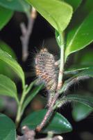 害虫(チャドクガの幼虫) 23018054970| 写真素材・ストックフォト・画像・イラスト素材|アマナイメージズ