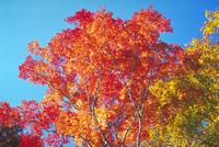 紅葉 23018055015| 写真素材・ストックフォト・画像・イラスト素材|アマナイメージズ