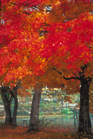 紅葉(カエデ) 23018055017| 写真素材・ストックフォト・画像・イラスト素材|アマナイメージズ