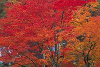 紅葉(カエデ) 23018055018| 写真素材・ストックフォト・画像・イラスト素材|アマナイメージズ