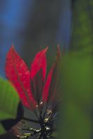 ポインセチアの葉 23018055118| 写真素材・ストックフォト・画像・イラスト素材|アマナイメージズ
