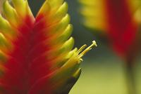 インコアナナスの花