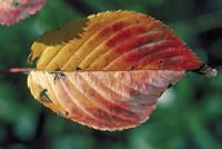 紅葉(サクラ) 23018055196| 写真素材・ストックフォト・画像・イラスト素材|アマナイメージズ
