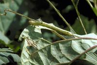 害虫(シャクガの幼虫) 23018055218| 写真素材・ストックフォト・画像・イラスト素材|アマナイメージズ