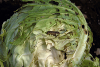害虫(ヨトウガの幼虫)