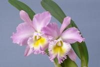 ブラソレリオカトレヤ・マウントアンダーソンの花