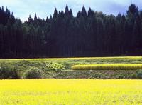 稲田 23018055452| 写真素材・ストックフォト・画像・イラスト素材|アマナイメージズ