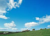 めん羊牧場 23018055469| 写真素材・ストックフォト・画像・イラスト素材|アマナイメージズ