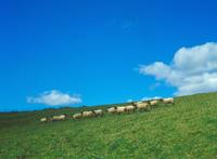 めん羊牧場 23018055473| 写真素材・ストックフォト・画像・イラスト素材|アマナイメージズ