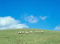めん羊牧場 23018055474| 写真素材・ストックフォト・画像・イラスト素材|アマナイメージズ