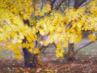 黄葉 23018055481| 写真素材・ストックフォト・画像・イラスト素材|アマナイメージズ