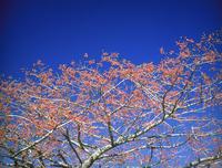マユミ 23018055489| 写真素材・ストックフォト・画像・イラスト素材|アマナイメージズ