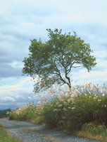 一本の樹 23018055490| 写真素材・ストックフォト・画像・イラスト素材|アマナイメージズ