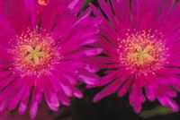 マツバギクの花