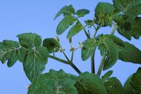 ミニトマトの葉
