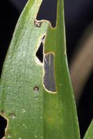 害虫被害(デンドロビウム)