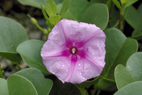 水滴とグンバイヒルガオの花