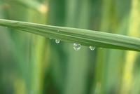 水滴と草 23018055819| 写真素材・ストックフォト・画像・イラスト素材|アマナイメージズ