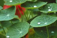 水滴とキンレンカの葉
