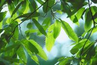 新緑(クヌギ) 23018055872| 写真素材・ストックフォト・画像・イラスト素材|アマナイメージズ