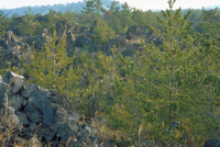 溶岩帯の植物