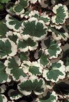 斑入りユキノシタの葉 23018055919| 写真素材・ストックフォト・画像・イラスト素材|アマナイメージズ