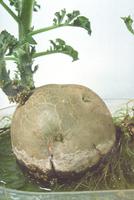 水栽培(ジャガイモ)