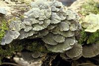 木材腐朽菌