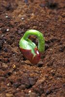 発芽(ツルナシインゲン)1