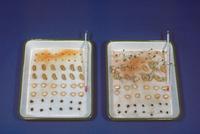 発芽実験(発芽と温度)