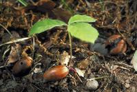 発芽(ブナ科の植物)