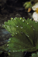 排水(イチゴの葉)