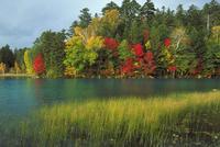 水生植物と広葉樹林 23018056131| 写真素材・ストックフォト・画像・イラスト素材|アマナイメージズ