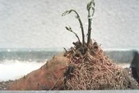 接ぎ木(アサガオ穂木とサツマイモ台木)1